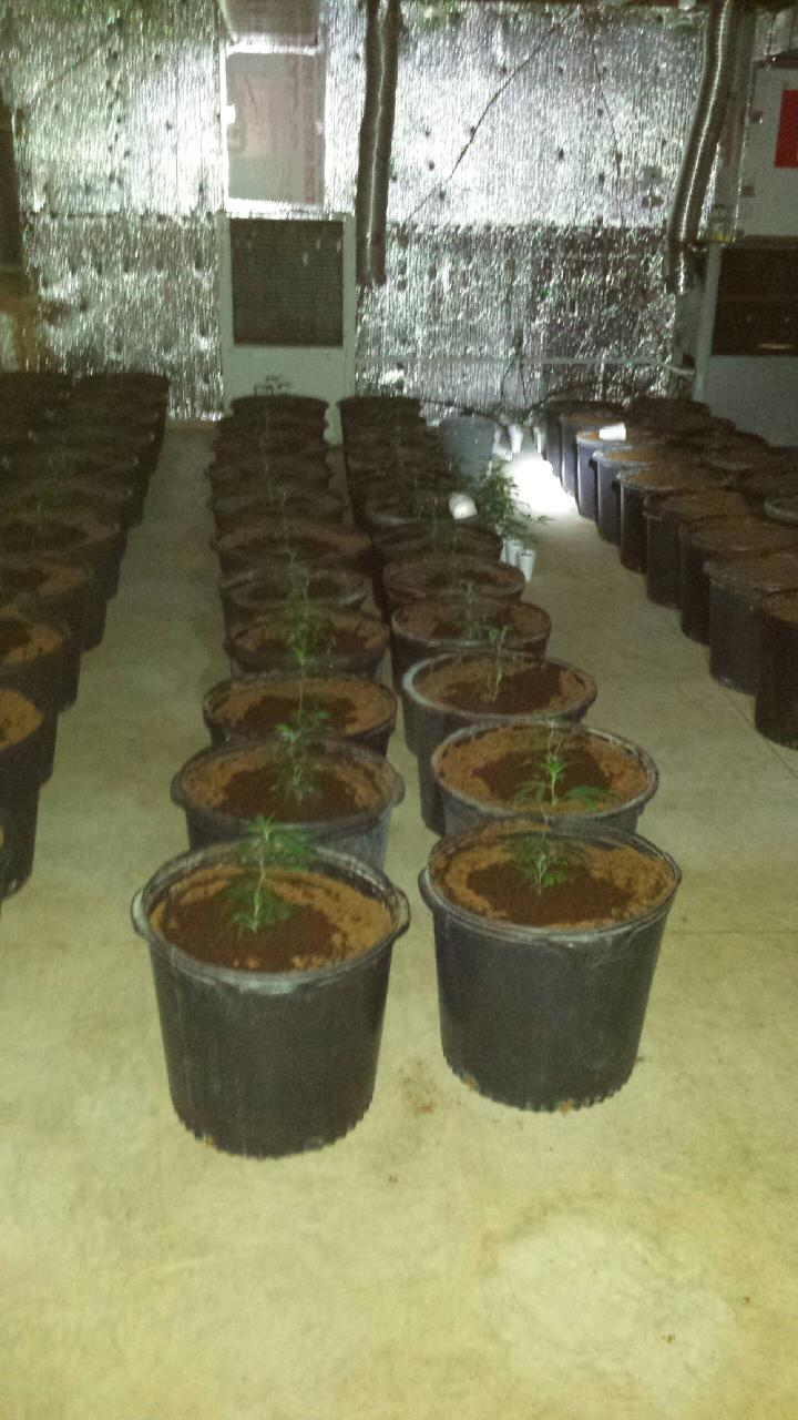 Some of the seized marijuana plants